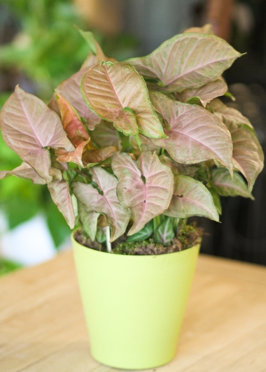houseplant, new, fresh, air, indoor, main floral, florist, delivery, winter, anoka, minnesota, mn, twin cities, coon rapids, maple grove, minneapolis, saint paul, shoreview, plymouth, valentines day, flowers, delivery, area, near, around, by, in, champlin, blaine, brooklyn park, anoka