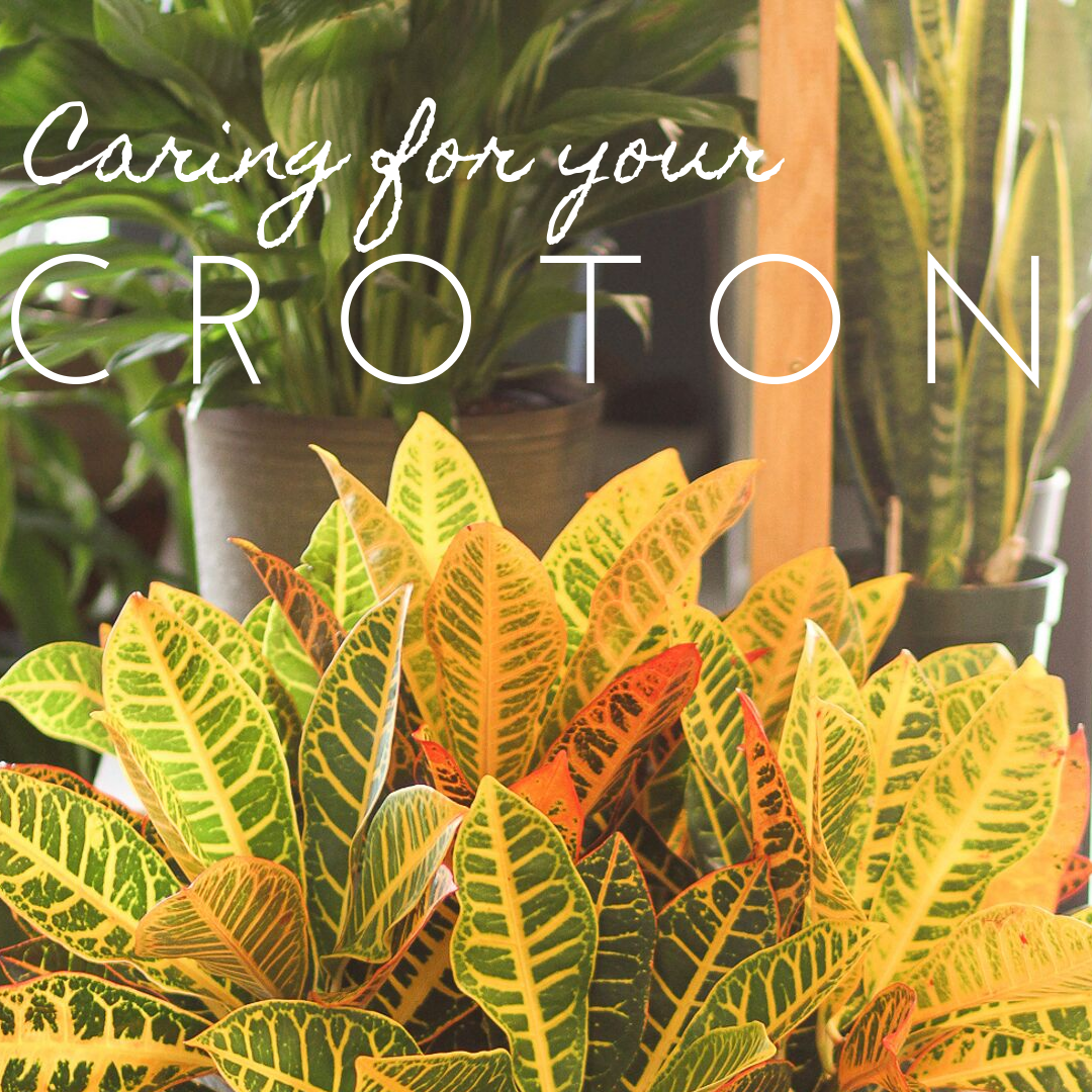 Caring for the Croton { Twin Cities Fall Flowers and Plants }